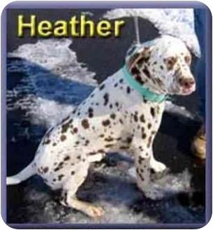 Dalmatian Mix Dog for adoption in Aldie, Virginia - Heather