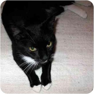 Domestic Shorthair Cat for adoption in Sheboygan, Wisconsin - Two Socks