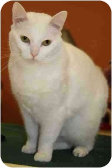 Domestic Shorthair Cat for adoption in Toledo, Ohio - Lucy