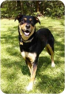 Doberman Pinscher/Labrador Retriever Mix Dog for adoption in Mocksville, North Carolina - Juneau