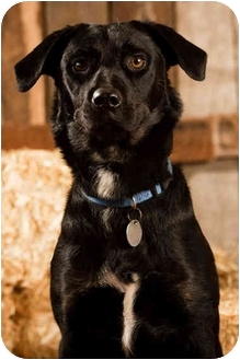 Labrador Retriever/Rottweiler Mix Dog for adoption in Portland, Oregon - Tipper