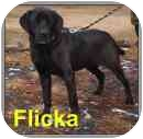Labrador Retriever Mix Dog for adoption in Aldie, Virginia - Flicka