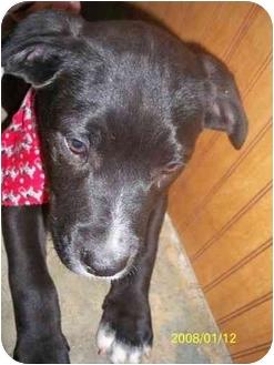 Australian Shepherd/Labrador Retriever Mix Puppy for adoption in Highland, New York - raffles