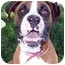 Photo 2 - Boxer Mix Dog for adoption in Sacramento, California - Shasta loving