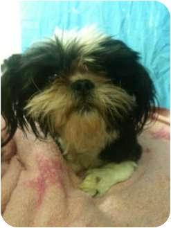 Shih Tzu Puppy for adoption in Astoria, New York - Gadget