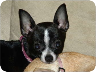 Chihuahua Dog for adoption in Fort Collins, Colorado - Molly