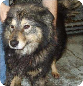 Collie/Chow Chow Mix Dog for adoption in Mt. Vernon, Illinois - Maze