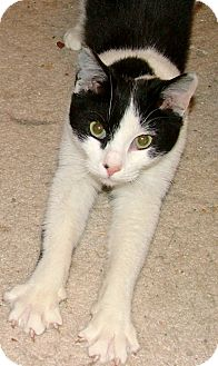 Domestic Shorthair Kitten for adoption in Chattanooga, Tennessee - Maxx