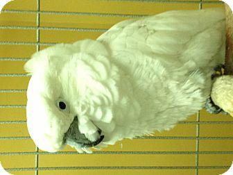 Cockatoo for adoption in Punta Gorda, Florida - Dahli