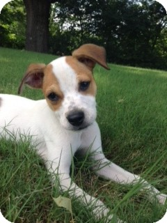 Beagle Mix Puppy for adoption in Hatifeld, Pennsylvania - Paisley