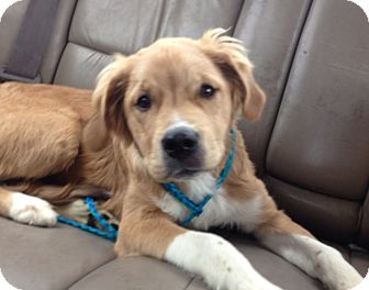 Golden Retriever Mix Puppy for adoption in Lancaster, Ohio - Spock