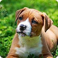 Adopt A Pet :: Axel - Albany, NY