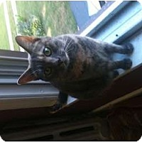 Adopt A Pet :: Maya (declawed) - Oxford, CT
