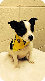 Chihuahua Puppy for adoption in Brattleboro, Vermont - Drey