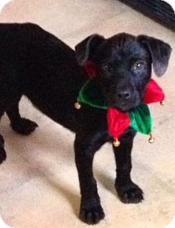 Labrador Retriever Mix Puppy for adoption in Leland, Mississippi - BITSY