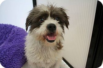 Lhasa Apso Mix Dog for adoption in Mission Viejo, California - LEROY
