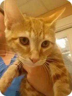 Domestic Shorthair Kitten for adoption in Reisterstown, Maryland - Killian