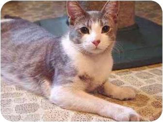 Domestic Shorthair Cat for adoption in New York, New York - Jackson