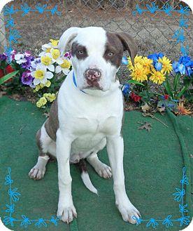 American Bulldog/Labrador Retriever Mix Dog for adoption in Marietta, Georgia - ELLIOT