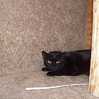 Domestic Shorthair Cat for adoption in Benton, Pennsylvania - Asia