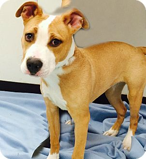 Pit Bull Terrier Mix Puppy for adoption in Newark, New Jersey - Kylie