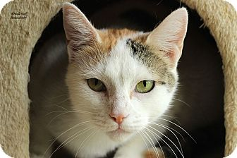 Domestic Shorthair Cat for adoption in Flushing, Michigan - Corabelle