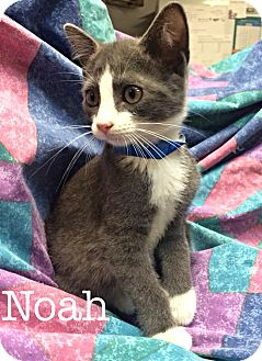 Domestic Shorthair Kitten for adoption in Williamston, North Carolina - Noah