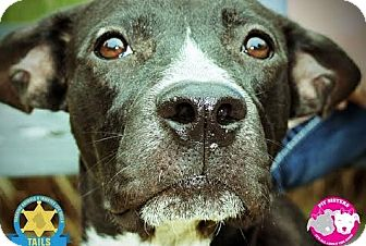 American Pit Bull Terrier Mix Dog for adoption in Jacksonville, Florida - Oscar