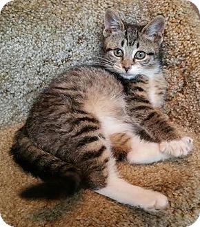Domestic Shorthair Kitten for adoption in Walworth, New York - Tilly