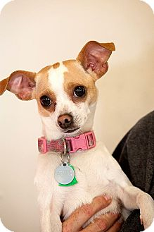 Chihuahua Mix Dog for adoption in Tijeras, New Mexico - Baby