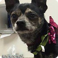 Chihuahua Mix Dog for adoption in Henderson, Nevada - DJay
