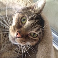 Domestic Shorthair Cat for adoption in Clearwater, Florida - Cason