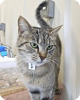 Domestic Shorthair Cat for adoption in St. Francisville, Louisiana - Lola