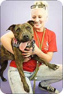 American Pit Bull Terrier/Labrador Retriever Mix Dog for adoption in Phoenix, Arizona - Milly