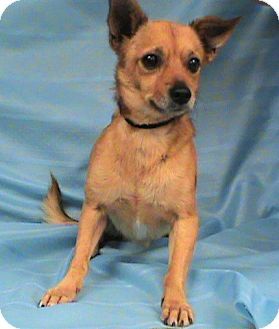 Chihuahua Dog for adoption in Maynardville, Tennessee - Scooter
