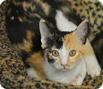 Domestic Shorthair Kitten for adoption in San Leon, Texas - Marilyn