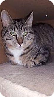 Domestic Shorthair Kitten for adoption in Florence, Kentucky - Glenn