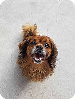 Cavalier King Charles Spaniel/Spaniel (Unknown Type) Mix Dog for adoption in Deltona, Florida - Joey