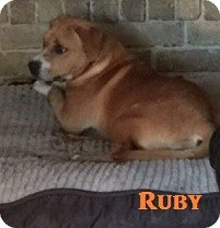 Boxer Mix Puppy for adoption in Plano, Texas - Ruby