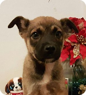 German Shepherd Dog/Labrador Retriever Mix Puppy for adoption in Pennigton, New Jersey - MACKEY