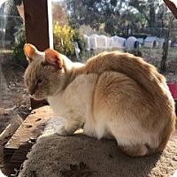 Adopt A Pet :: Thatcher - El Dorado Hills, CA