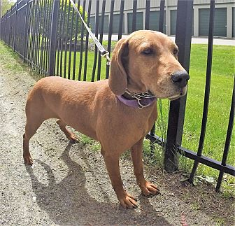 Hound (Unknown Type) Mix Dog for adoption in Carmel, New York - Blue