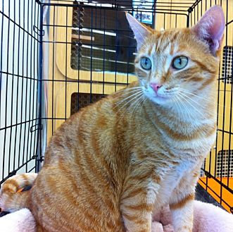 Domestic Shorthair Cat for adoption in Tampa, Florida - Starburst