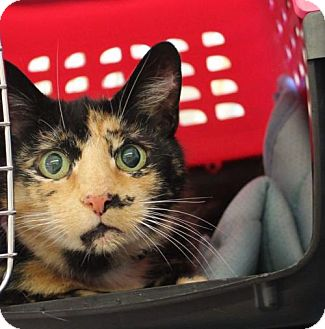 Domestic Shorthair Cat for adoption in Westampton, New Jersey - Liza 34842088