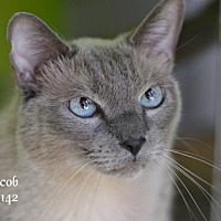 Siamese Cat for adoption in Montgomery, Texas - Jacob