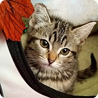 American Shorthair Kitten for adoption in San Francisco, California - Maple (pending)
