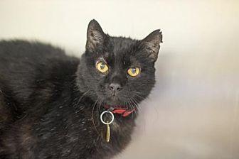 Domestic Shorthair Cat for adoption in Mountain Home, Arkansas - Stockton (Bubba)
