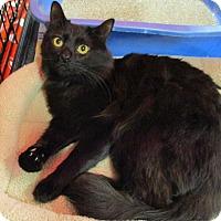 Adopt A Pet :: MIDNIGHT - Diamond Bar, CA