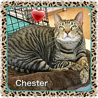 Domestic Shorthair Cat for adoption in Atco, New Jersey - Chester