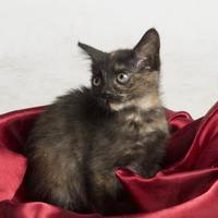 Adopt A Pet :: Percy - Santa Paula, CA